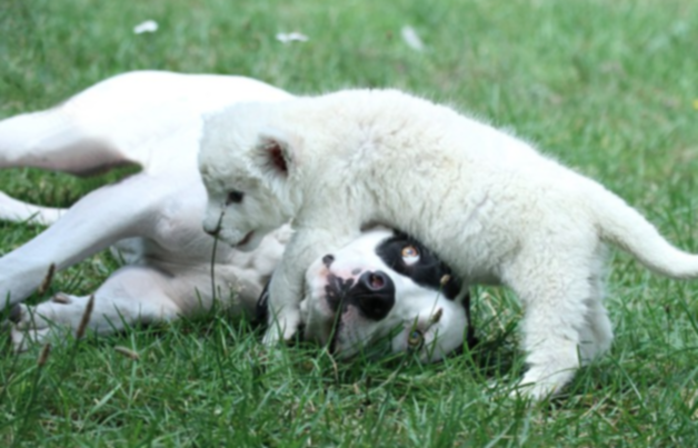 Собака заботится о белом львёнке