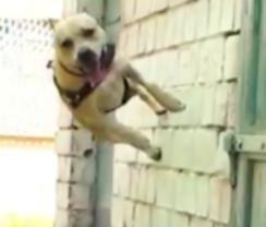 Украинская собака стала звездой паркура