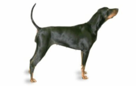 Черно-подпалый енотовидный пес