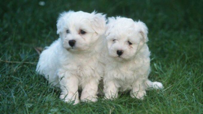 Мальтийские щенки: милые картинки и факты