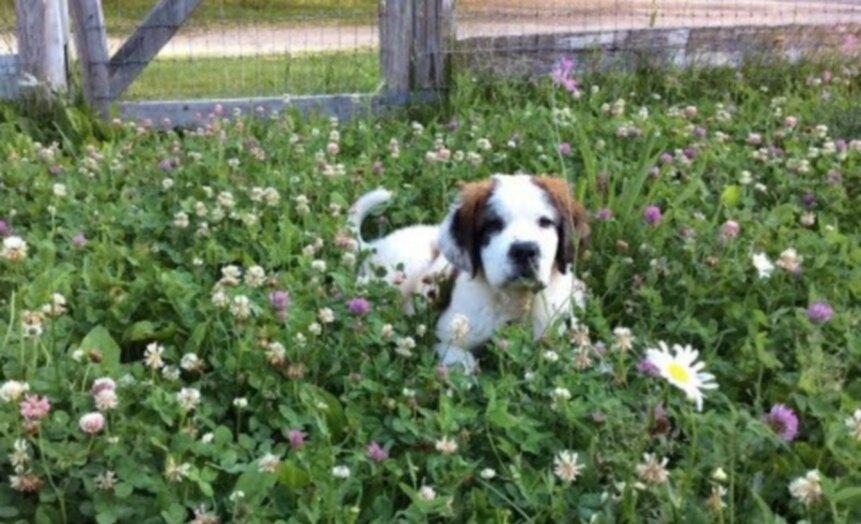 Глухой щенок сенбернара по имени Фрэнсис любит своих коз [ВИДЕО]