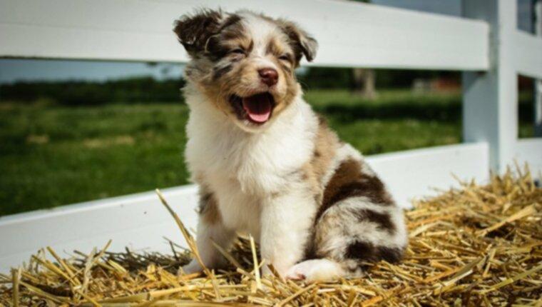 Щенки австралийской овчарки: милые картинки и факты