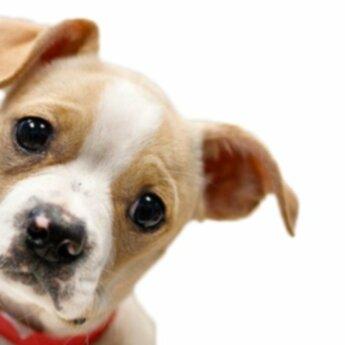 Стерилизация или стерилизация вашей собаки