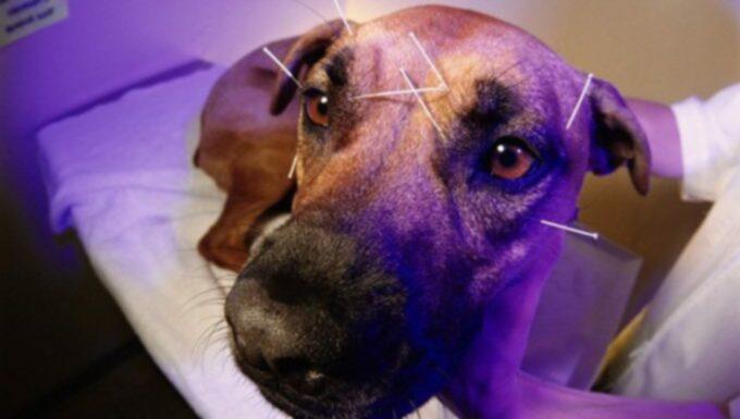 Альтернативная медицина: плюсы и минусы иглоукалывания у собак