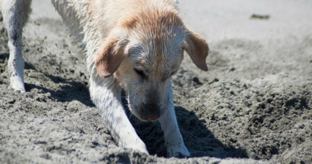 Собака копает