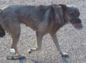 Обиженная собака с заклеенным ртом выздоравливает