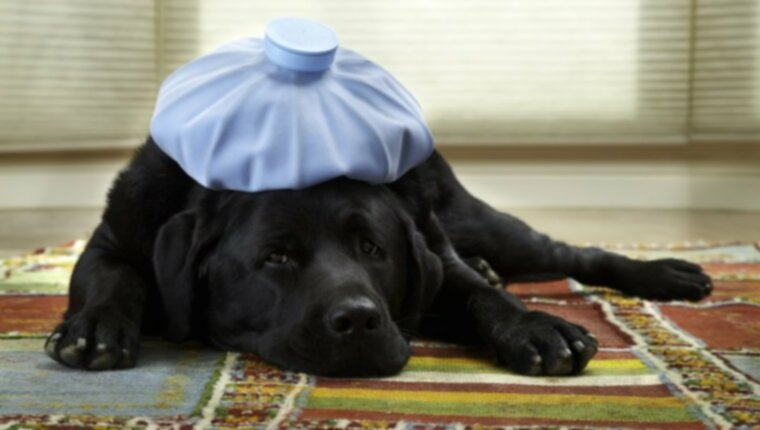 Собачий грипп (собачий грипп): симптомы, причины и методы лечения