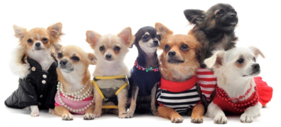 SF SPCA решительно борется с перенаселенностью чихуахуа