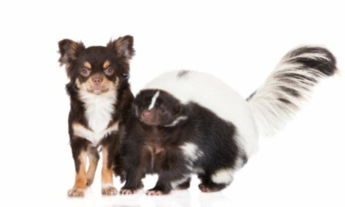 Что делать, если у вашей собаки скунс