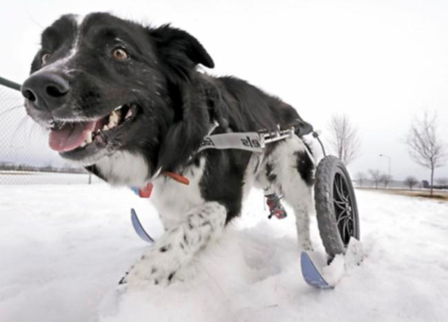 Бордер-колли-инвалид получил инвалидную коляску с лыжами, чтобы передвигаться по снегу