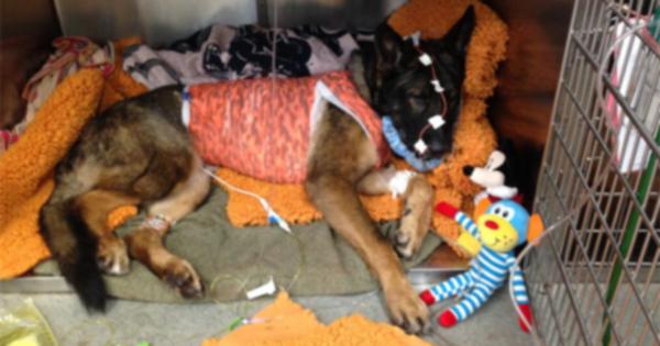 Собака-герой полиции выжила после выстрела в лицо, поймав подозреваемого
