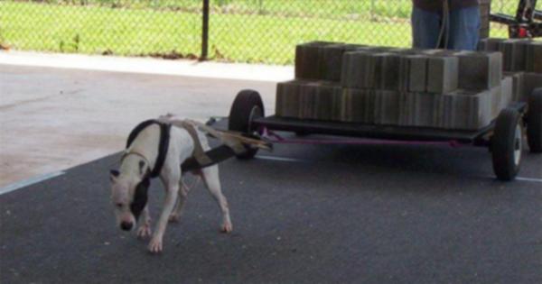 Критики разделились на спорном спорте собаки «перетягивание груза»