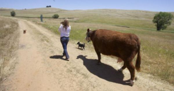 Очаровательная корова-спасатель считает, что она собака