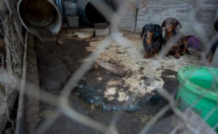 Отчет HSUS: АКС помогает защитить фермы для щенков?