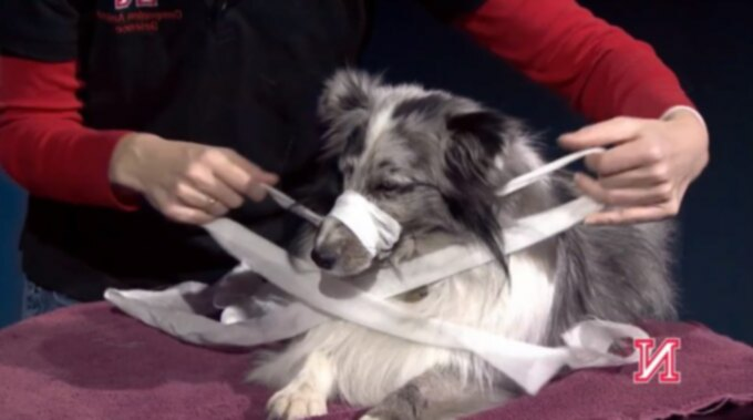 Как сделать намордник собаки из марли или ткани