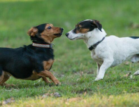Почему маленькие собаки должны заставлять вас задуматься