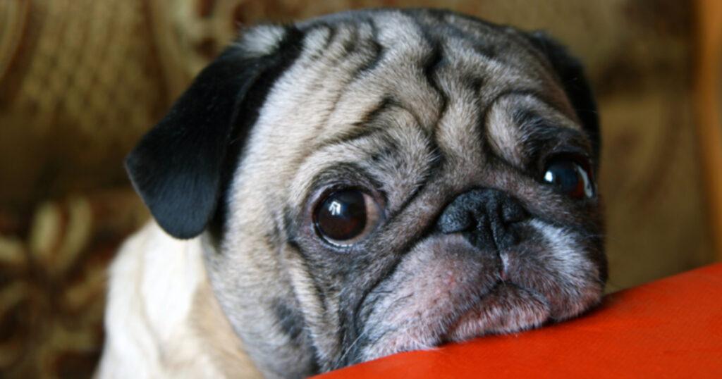 Испытывают ли собаки ревность?