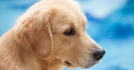 Собаки, генетика и мышечная дистрофия