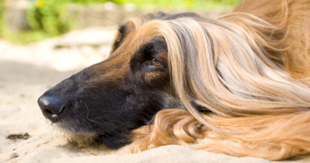 8 пород собак, которые идеально соответствуют персонажам Диснея