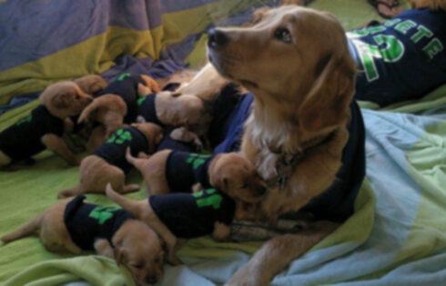 Ретривер демонстрирует командный дух со своими щенками