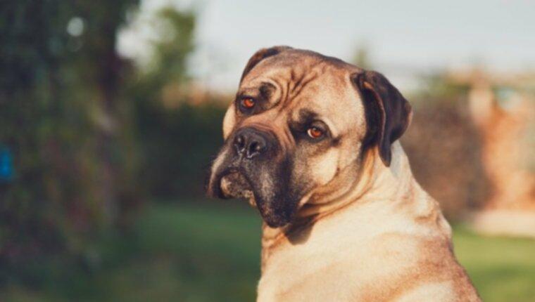 Рак простаты у собак: симптомы, причины и методы лечения