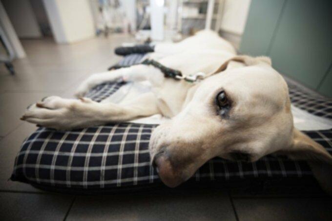 Рак собак: плоскоклеточный рак