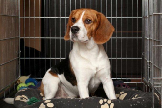 Рак у собак: опухоли яичек