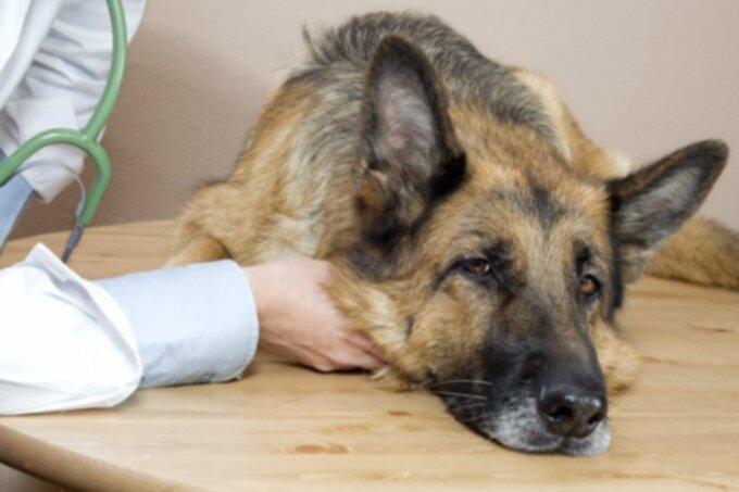 Рак собак: рак мочевого пузыря