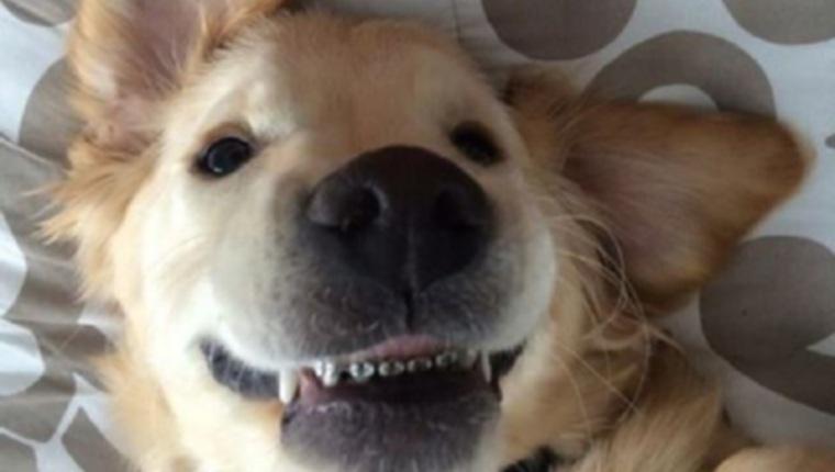Очаровательный щенок золотистого ретривера получил брекеты на зубы и стал вирусным