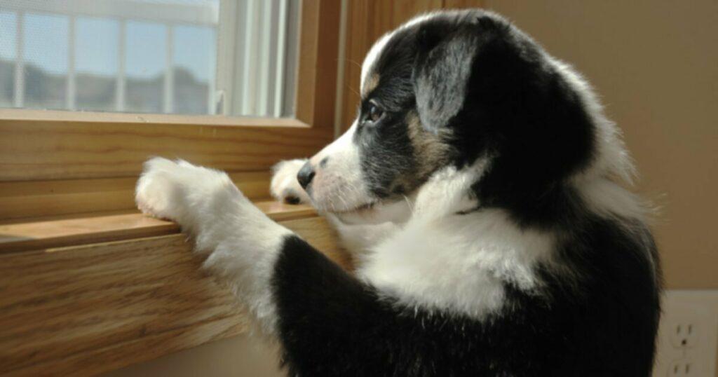 Боязнь разлуки у собак