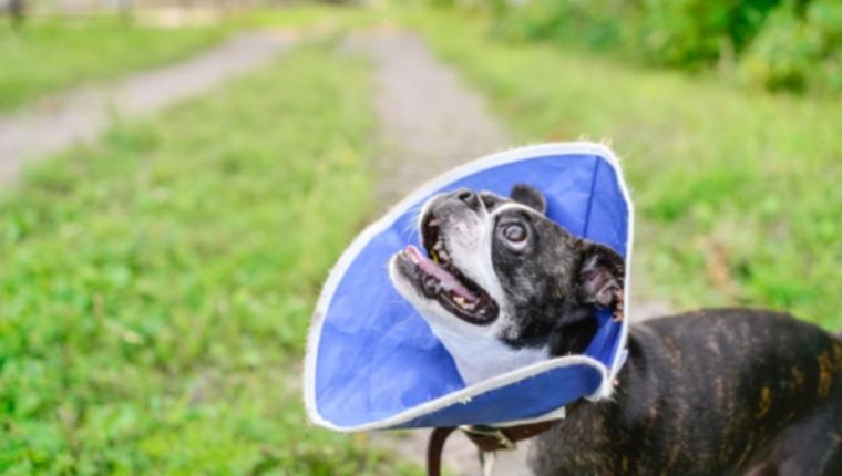Почему вы должны стерилизовать или кастрировать собаку?