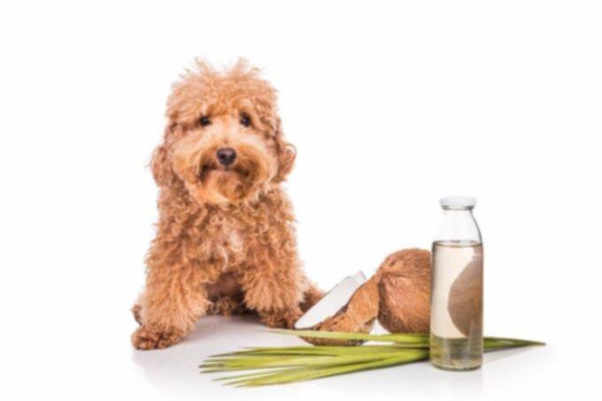 Удивительно, что немного кокосового масла может сделать для вашей собаки