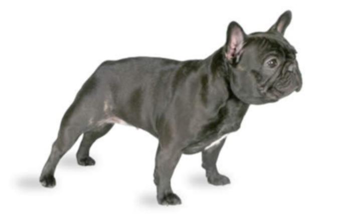 10 самых популярных пород собак в Америке