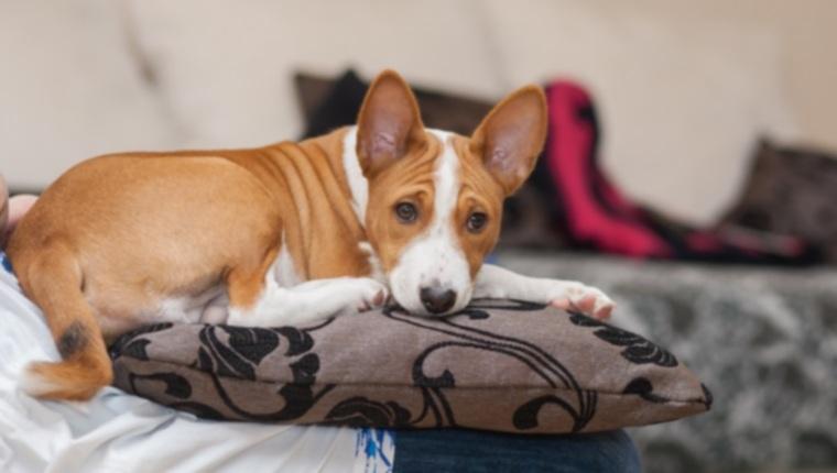 29 хороших квартирных пород собак, которые подходят для небольших жилых помещений