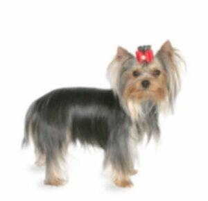 Топ-10 самых маленьких пород собак