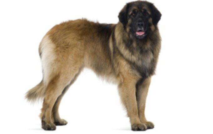 Породы больших собак, которые дарят вам больше любви