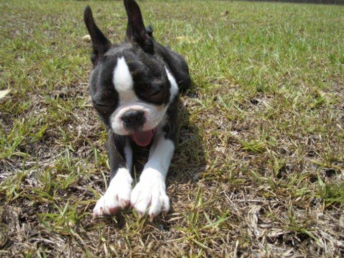 Бостон-терьеры: особенности породы щенков и собак