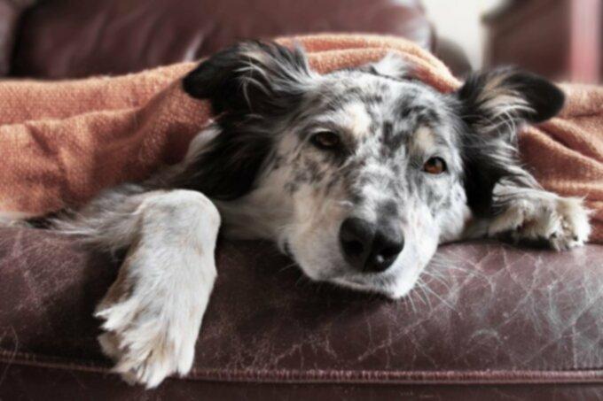 Рак у собак: внутричерепная неоплазия