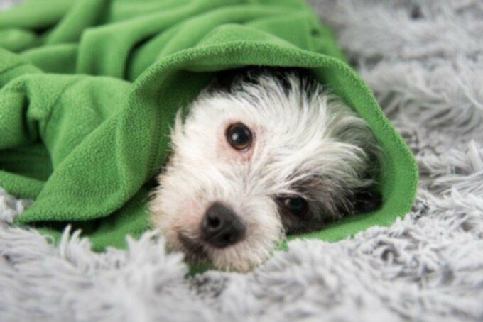 Собачий рак: рак гортани и трахеи