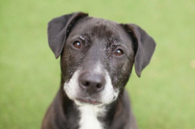 Рак собак: меланома — меланоцитарные опухоли