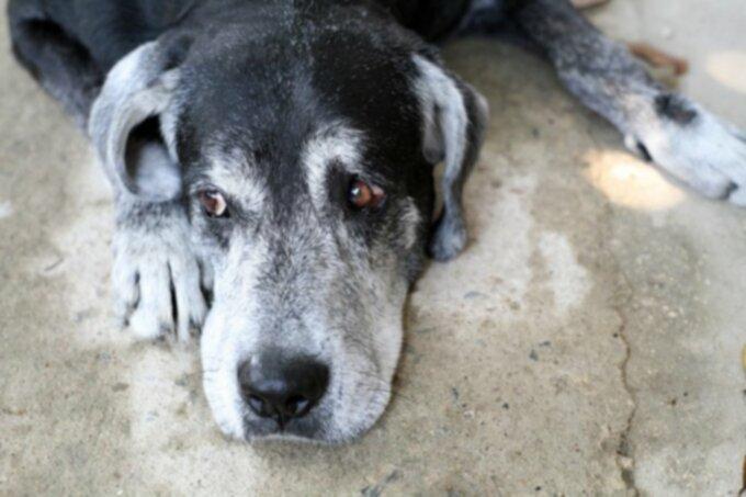 Рак собак: опухоли нервной оболочки