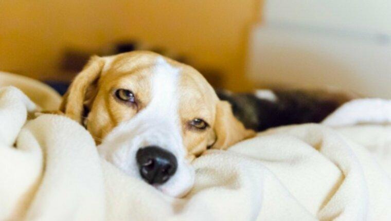 Мегалобластная анемия у собак: симптомы, причины и методы лечения