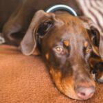 Иммуноопосредованная анемия у собак: симптомы, причины и методы лечения