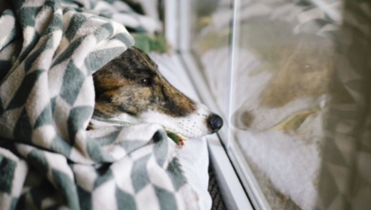 Холодный агглютинин у собак: симптомы, причины и методы лечения