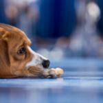 Юношеский полиартериит (болевой синдром гончей) у собак: симптомы, причины и методы лечения