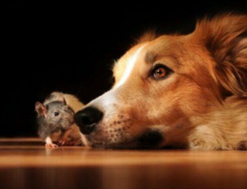 Отравление антикоагулянтными родентицидами (отравление крысами) у собак: симптомы, причины и методы лечения
